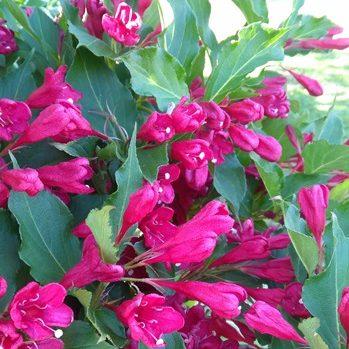wygląd kwiatów na Wyspie Księcia Edwarda - fuksja i zieleń