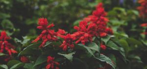 Ciemnoczerwone kwiaty wśród ciemnej zieleni